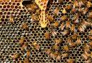Mierea pe care o consumă românii este otrăvită! De ce?