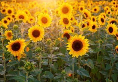 România produce mai puțin floarea-soarelui, dar păstrează locul 1